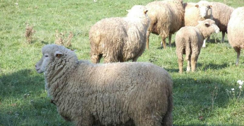 Atak psów na stado owiec. Ponad 70 zwierząt zagryzionych i rannych Kliknięcie w obrazek spowoduje wyświetlenie jego powiększenia