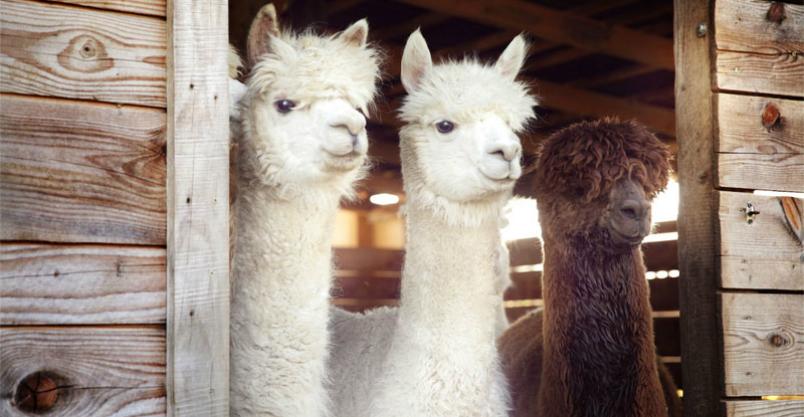 Płońskie mini ZOO? Owce, kozy, alpaki – w roli kosiarek Kliknięcie w obrazek spowoduje wyświetlenie jego powiększenia